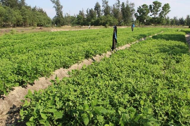Mô hình trồng lạc kết hợp với đậu xanh của ngư dân huyện Gio Linh