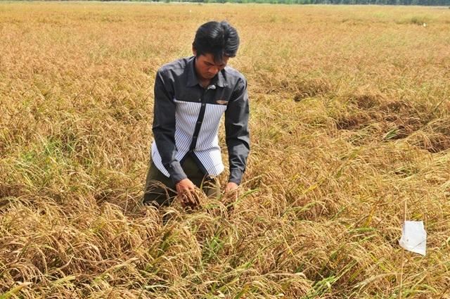 Liên quan đến những sai phạm trong việc chi hỗ trợ cho người trồng lúa, có 16 cán bộ huyện U Minh Thượng và một số xã, ấp bị kiểm điểm, xử lý kỷ luật
