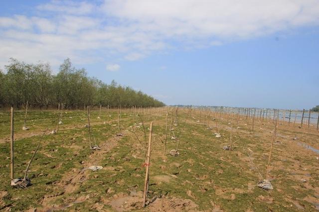 Trồng rừng ngập mặn ngăn biển xâm nhập, bảo vệ đê xung yếu - 2
