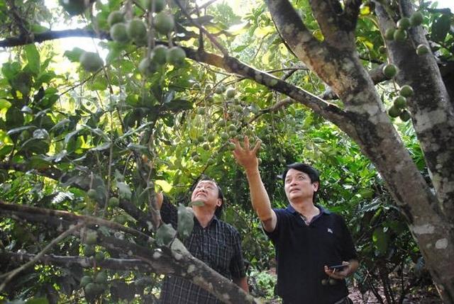 Ông Nguyễn Đức Hưởng (áo đen) cùng chuyên gia Nguyễn Lân Hùng trong một chuyến đi khảo sát thị trường mắc ca.