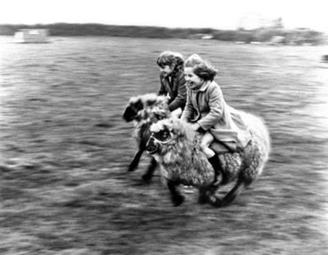 Đua… cừu. (Ảnh: John Drysdale)