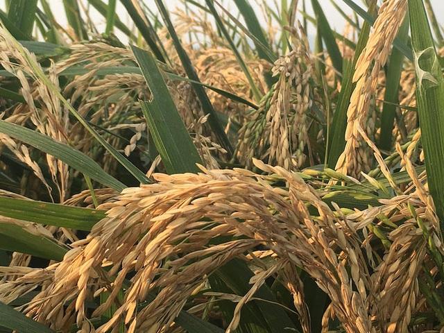 Cánh đồng mênh mông phía sau KCN Quang Châu có nguy cơ thất thu do các bông lúa bị lép.