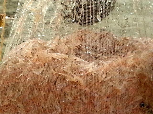 Những con ruốc có vẻ mềm yếu và èo uột hơn con tép riu cất được từ ngoài đồng nhưng con ruốc vừa vớt lên khỏi biển vẫn roi rói, bàng bạc, lấp lánh một màu hồng tươi như ngói, lao xao một lát đã nằm yên trong thùng xốp, túi đựng.