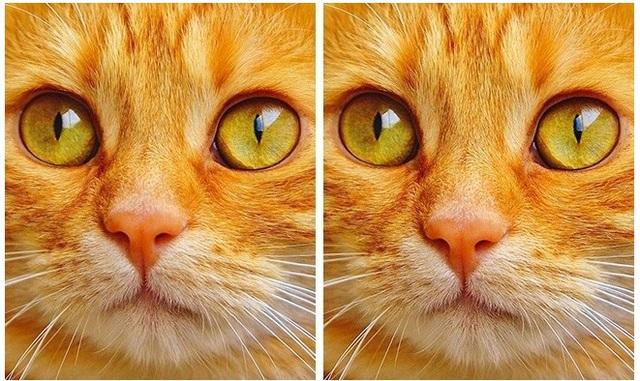 Chú mèo bên trái có mũi ngắn hơn chú bên phải.