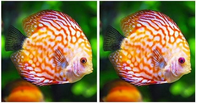 Hai chú cá vàng có màu mắt khác nhau.