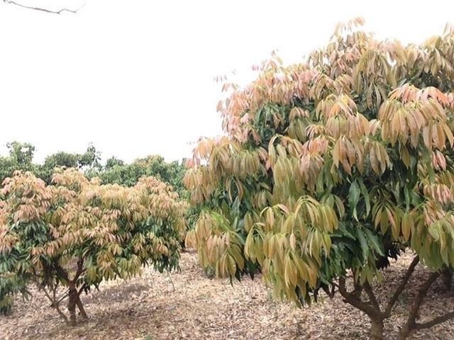 Vườn vải tại Lục Ngạn, Bắc Giang