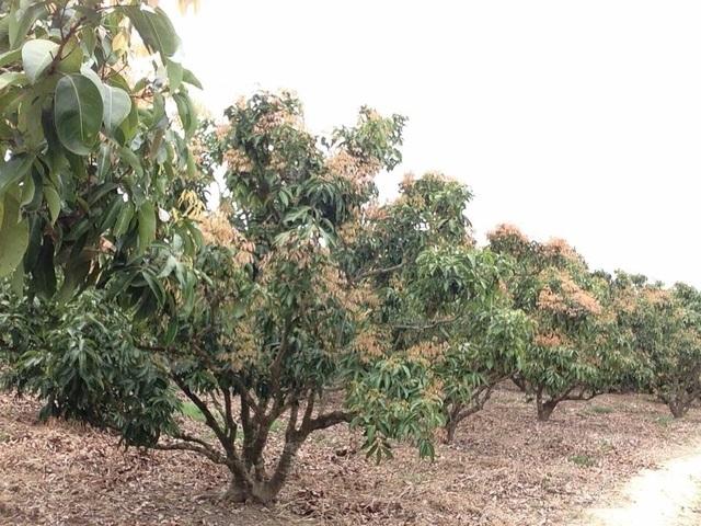 Không chỉ một cây mà gần như tất cả diện tích trồng vải của người dân đều như nhau