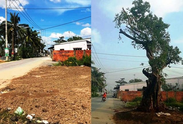 Vị trí khu đất khi cây Sộp bị bứng đi (ảnh trái) và thời điểm cây Sộp được trồng trả lại sáng 18/11 (ảnh phải).