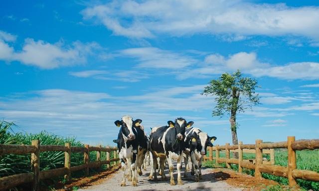 Những cô bò trên trang trại Organic Đà Lạt – trang trại bò sữa đạt tiêu chuẩn organic châu Âu đầu tiên tại VN.