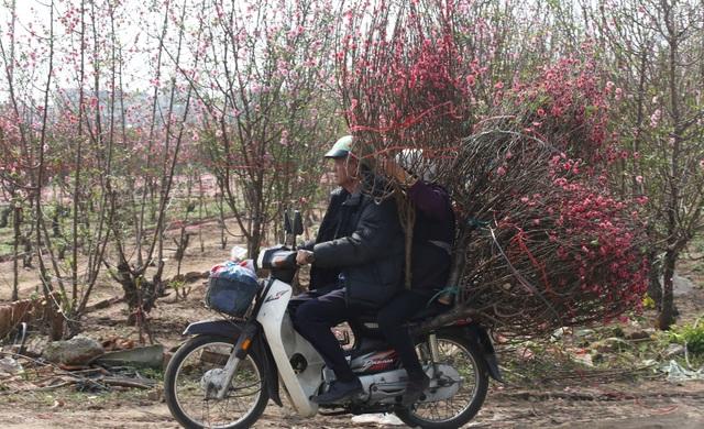 Hoa đào từ lâu đã trở thành loài hoa đặc trưng không thể thiếu trong các ngày Tết ở miền bắc Việt Nam. Tùy vào sở thích cá nhân, mỗi người sẽ chọn cho mình một dáng thế hoặc màu sắc đậm nhạt khác nhau của hoa đào để chơi trong những ngày Tết (Ảnh: Reuters)
