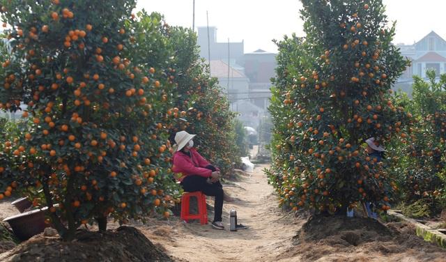 Ngoài đào, quất cũng là một loại cây ăn quả được nhiều người dân Việt Nam lựa chọn để chơi Tết. Theo quan niệm trong văn hóa Việt Nam, một cây quất với cành lá tươi tốt và nhiều quả sẽ tượng trưng cho một năm mới tốt lành và thịnh vượng. (Ảnh: Reuters)