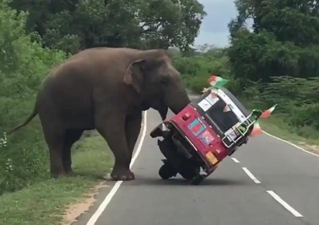 Con voi dễ dàng quật ngã chiếc xe tuk tuk như một món đồ chơi