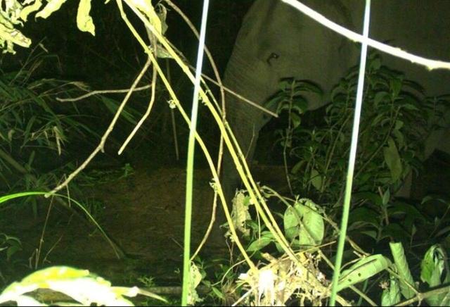 Hình ảnh 2 cá thể voi cái trưởng thành được chụp lại tại tiểu khu 149A (Rừng quốc gia Vũ Quang)