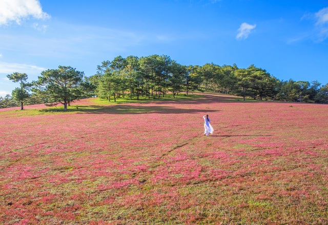 Cỏ hồng - loài cỏ dại mang sắc hồng, pha chút tím đã níu chân biết bao người người mê hoa và yêu thiên nhiên Đà Lạt