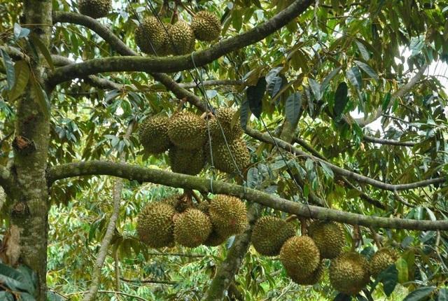 Vườn cây sai trĩu quả luôn hấp dẫn du khách về thị giác và vị giác.
