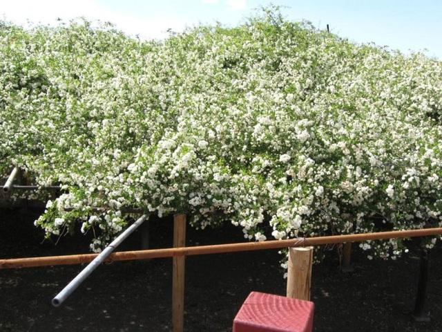 Bụi hồng lớn nhất thế giới già 132 năm tuổi, vẫn nở hoa mỗi độ Xuân về - 2
