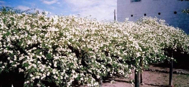 Bụi hồng lớn nhất thế giới già 132 năm tuổi, vẫn nở hoa mỗi độ Xuân về - 3