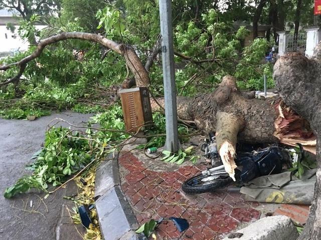 Một cây xà cừ lớn bị quật gãy ở khu vực vườn hoa Hà Đông đè bẹp 1 xe máy, rất may không có thiệt hại về người. Ảnh: CTV