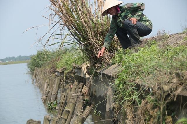 Người dân địa phương phải dùng cọc tre để gia cố phần đê bị hư hỏng