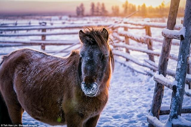 Giống ngựa quý của người Yakut sở hữu bộ lông rất dày
