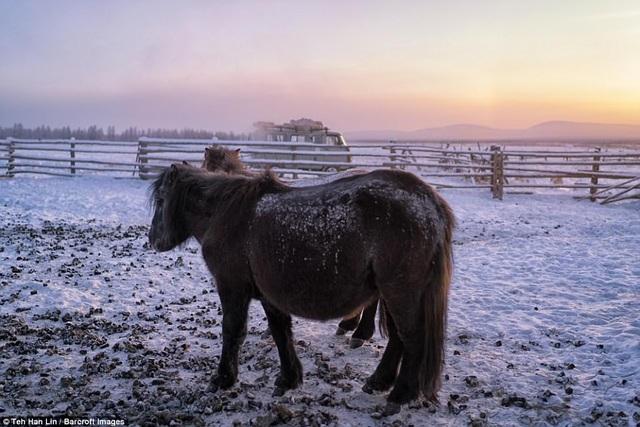 Những con ngựa phải tích lớp mỡ dày vào mùa thu để chuyển hóa năng lượng, chống chọi với khí hậu khắc nghiệt