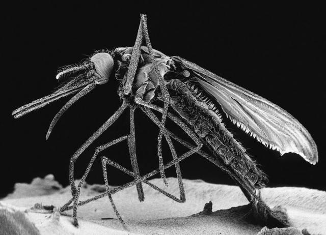 Dấu vết vật liệu di truyền của vi-rút Zika đã được tìm thấy ở một loài muỗi thứ hai.