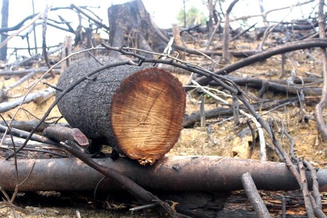 Nhiều cây gỗ lớn đã bị cưa ngã và đốt cháy ở khu rừng này