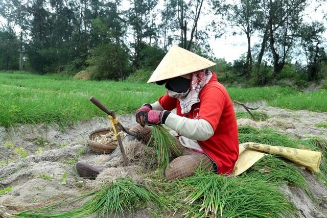 Thời tiết mưa liên miên nên thương lái cũng ít thu mua, nhiều hộ chưa cần đất làm đậu đều giữ ruộng chờ giá lên…