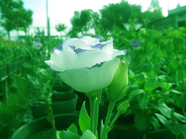 Hoa hồng pháp đang được trồng nhiều ở làng hoa Sa Đéc