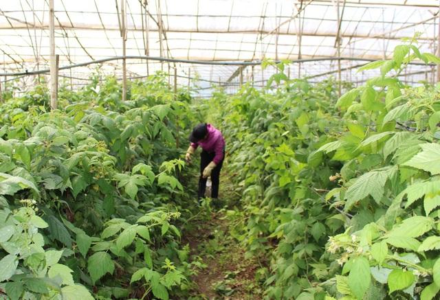 Vườn phúc bồn tử không những tạo thu nhập cao cho gia đình anh Lưỡng, mà còn tạo công ăn việc làm ổn định cho nhiều lao động ở địa phương