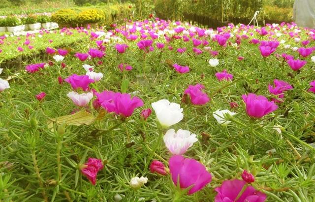 Những ruộng hoa mười giờ Mỹ đang khoe sắc rực rỡ