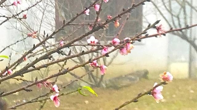 Tại khu vực khuôn viên Trường PTDTBT Mường Lống có hàng trăm cây đào hoa đã bung nở nhiều tuần qua.