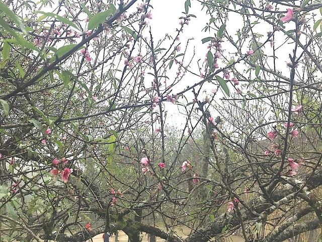 Hoa đào Mường Lống bung nở trước Tết.