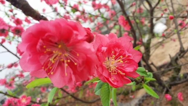 """Chuyên gia chia sẻ các kỹ thuật """"nước rút"""" giúp cây hoa đào nở rộ vào đúng dịp Tết - 4"""