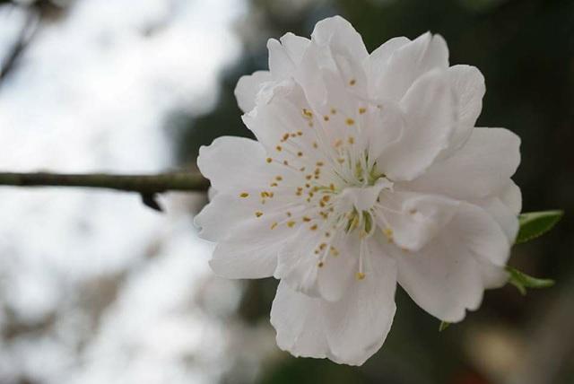 """Chuyên gia chia sẻ các kỹ thuật """"nước rút"""" giúp cây hoa đào nở rộ vào đúng dịp Tết - 5"""