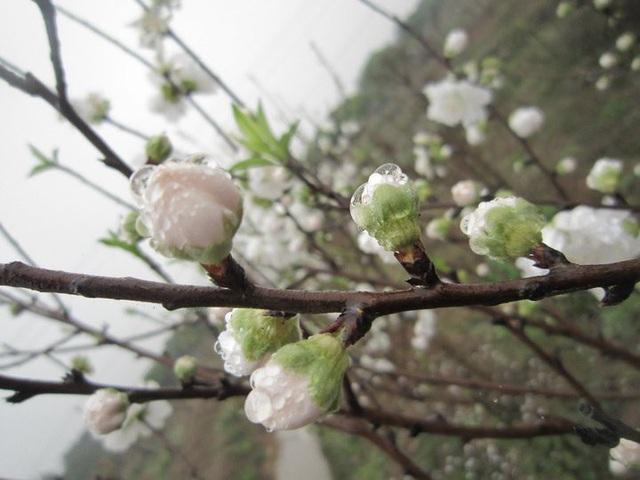 """Chuyên gia chia sẻ các kỹ thuật """"nước rút"""" giúp cây hoa đào nở rộ vào đúng dịp Tết - 3"""