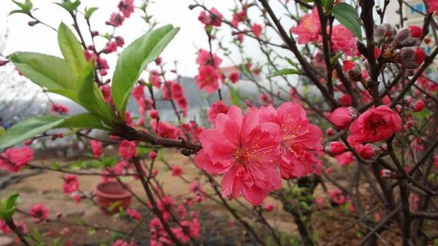 """Chuyên gia chia sẻ các kỹ thuật """"nước rút"""" giúp cây hoa đào nở rộ vào đúng dịp Tết - 6"""