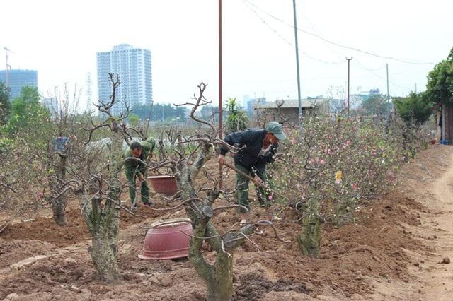 Người trồng đào đang bắt tay vào trồng lại và chăm sóc cho cây.