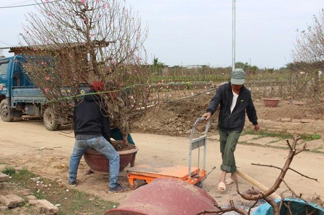 Những gốc đào sau Tết được mang trở lại vườn.
