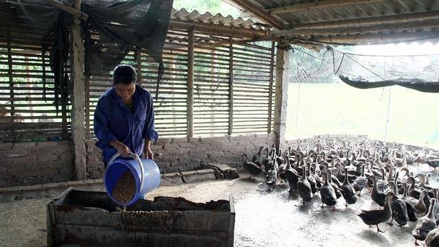 Phần lớn vịt trời hiện nay anh bán giống cho các trang trại ở các tỉnh, thành phố trong cả nước. Lượng vịt trời thương phẩm không đáng kể.