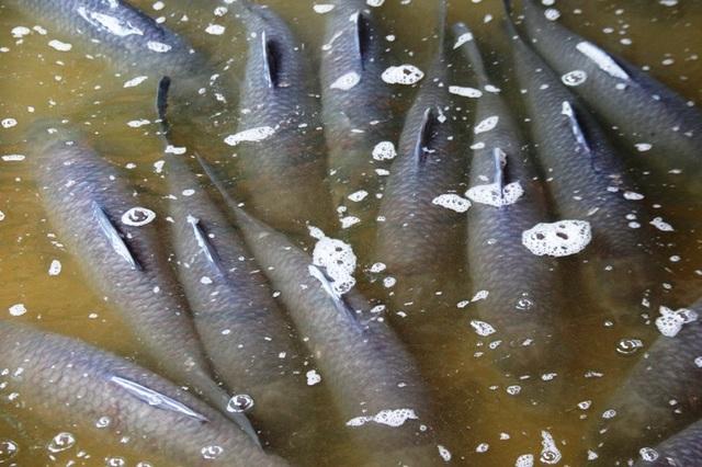 Cá kho làng Vũ Đại phải là loại cá trắm đen từ 4kg trở lên, thịt chắc, người thon