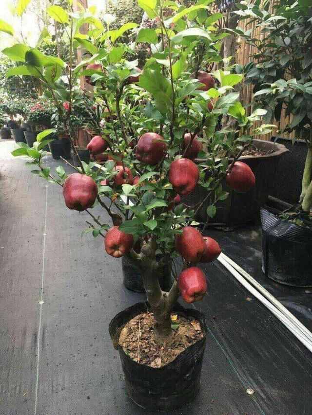 Cây táo cảnh chỉ cao dưới 1,2m, phù hợp trồng trong chậu đặt trong nhà chơi Tết