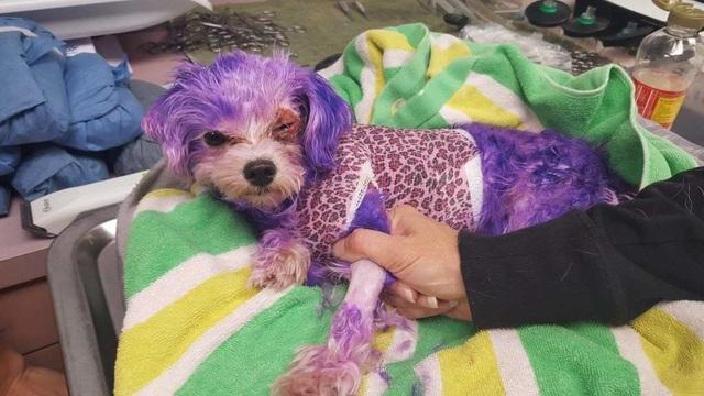Cô chó nhỏ Violet được điều trị tại Dịch vụ Động vật Hạt Penillas.