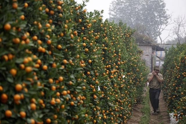 Quất lớn trồng trên đất theo cách truyền thống có phần giảm nhưng vẫn chiếm phần lớn số quất ở Tứ Liên.