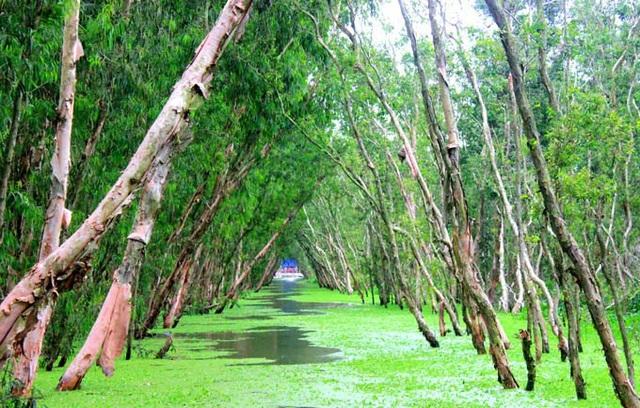 An Giang: Rừng tràm Trà Sư đẹp nhất mùa nước nổi - 11