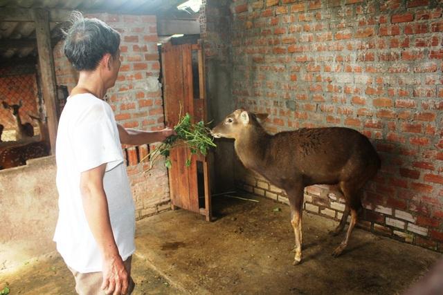 Hiện ông Phước đang nuôi để lấy nhung và lấy nguồn giống bán