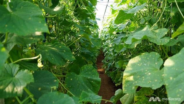 Rau được trồng trong nhà kính tại Triều Tiên.