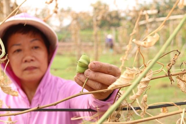Chủ nhân của hơn 200 gốc cây sa chi bị phá hoại là bà Nguyễn Thị Kim Oanh ở thôn 3, xã Vạn Phúc, huyện Thanh Trì, Hà Nội. Sau 8 tháng dày công chăm sóc, đến khi cây bắt đầu cho ra quả để thu hoạch thì bất ngờ bị kẻ xấu chặt lìa gốc hàng loạt. Mảnh vườn có giá trị hàng trăm triệu đồng, sau 1 đêm biến thành củi khô.