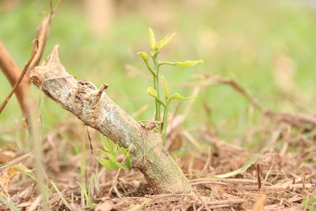 Với những gốc cây bị chặt, đoạn thân gốc còn dài bà Oanh đang cố gắng chăm sóc để cây nẩy mầm, mong cứu lại được.