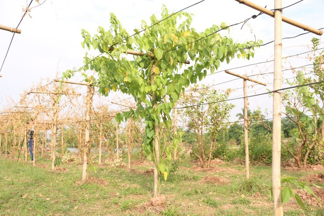 Cả vườn có 203 gốc cây thì bị chém đứt 201 gốc, duy nhất chỉ còn lại hai gốc bị chém không đứt nên vẫn còn sống. Sau khi thấy gốc bị chém không đứt, bà Oanh đã dùng nhiều biện pháp kỹ thuật để cứu chữa cho cây.